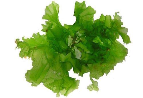 Alghe verdi