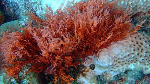 Alghe rosse