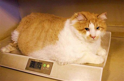 Obesità gatto