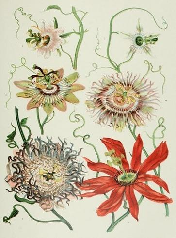 Passiflora, erba per il sonno