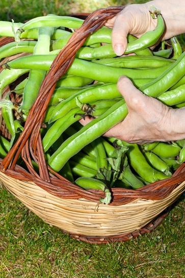 Le fave, primizie di legumi
