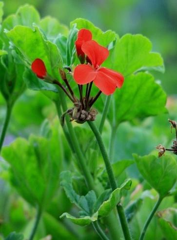 Geranio (Pelagornium Graveolens)