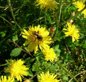 Radicchione, Crepis vesicaria