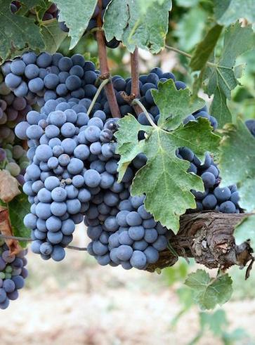 Il vitigno Sangiovese