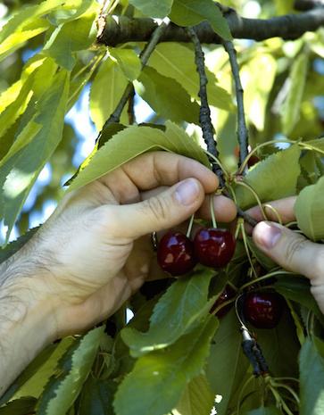 La ciliegia Moretta di Vignola