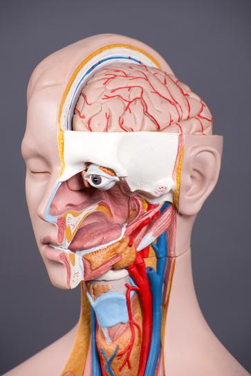 I muscoli oculari