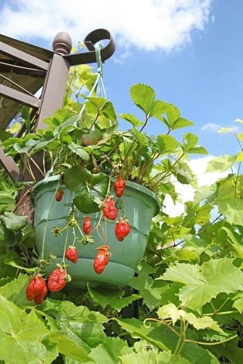 Ortaggi da frutto, non solo fragole