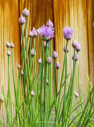 Insalata di fiori di erba cipollina, patate e uova sode