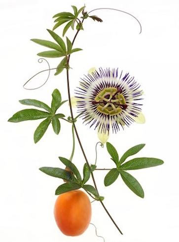 Specie di passiflora e la loro coltivazione