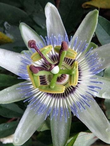 Il fiore della passiflora