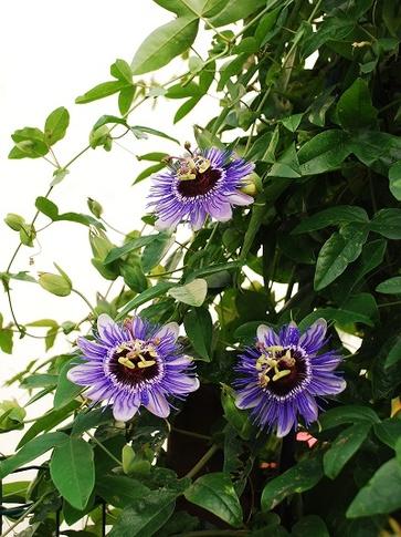 La coltivazione della passiflora