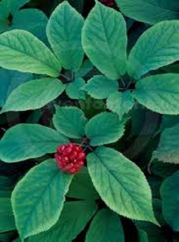 Ginseng Americano, Panax Quinquefolium