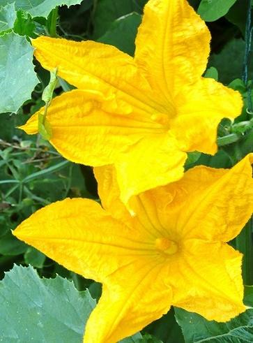 Patate e fiori di zucchina