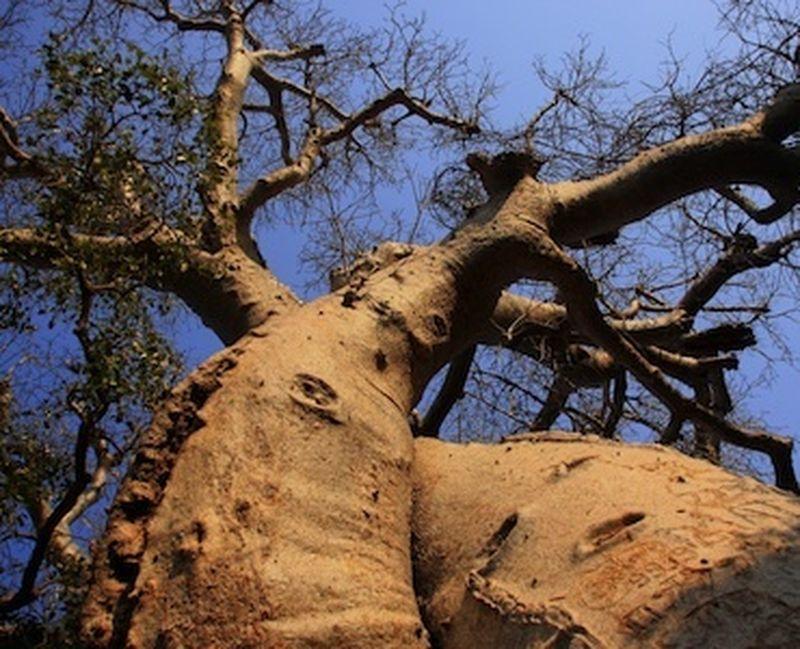 Più difese immunitarie con la polvere di baobab