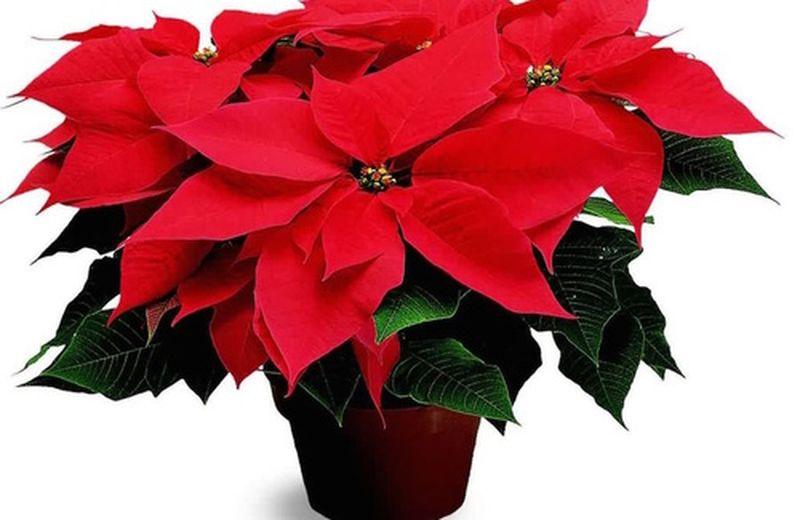 Le piante natalizie e il Feng Shui