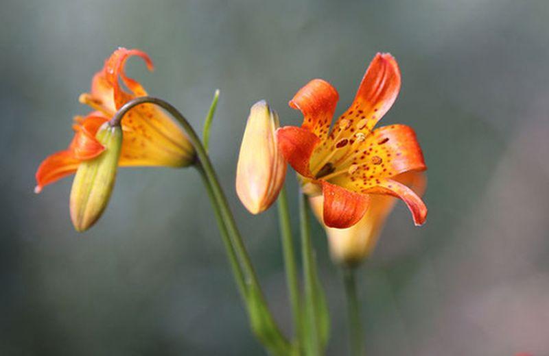 Gravidanza: le essenze floreali più adatte