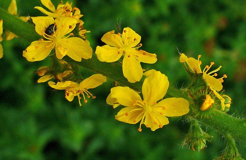 I fiori di Bach per l'ipersensibilità