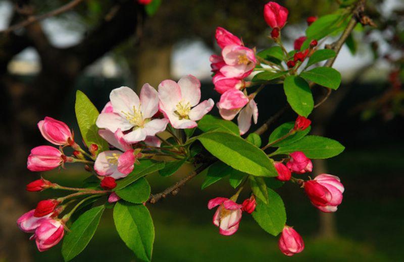 Crab Apple, un fiore per piacersi