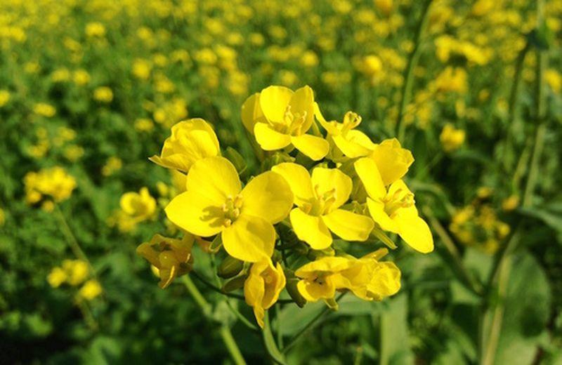 Curiamo la depressione con l'essenza floreale Mustard