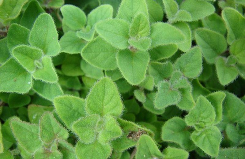 Le principali piante di uso clinico in omeopatia e fitoterapia