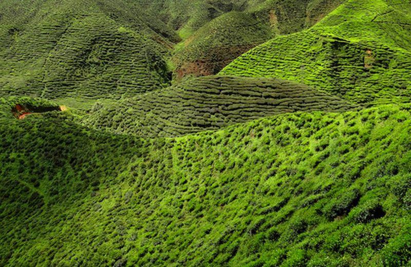 La coltivazione del tè