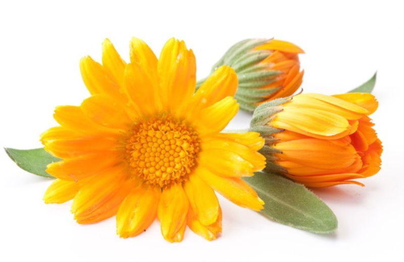 La calendula, il fiore dalle tante proprietà