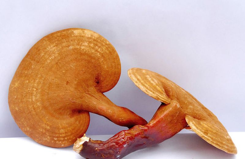 Ganoderma Lucidum Juncao, nuova coltivazione ecosostenibile