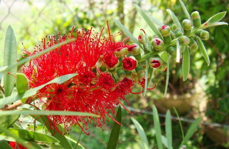 La floriterapia australiana, valido supporto alla dieta dimagrante