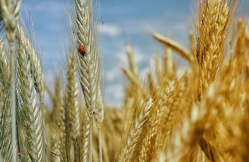 I cereali fonte di energia