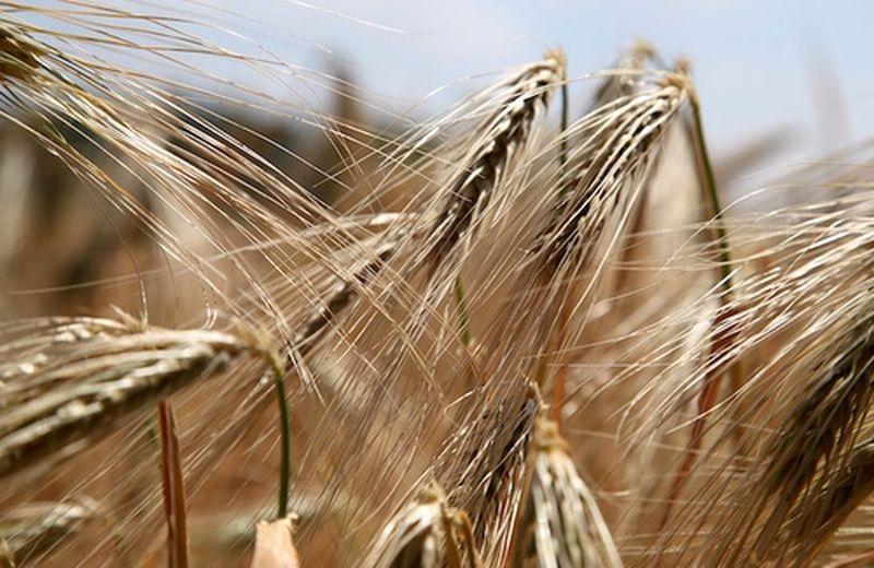 Il germe di grano, i muscoli, la vitamina E