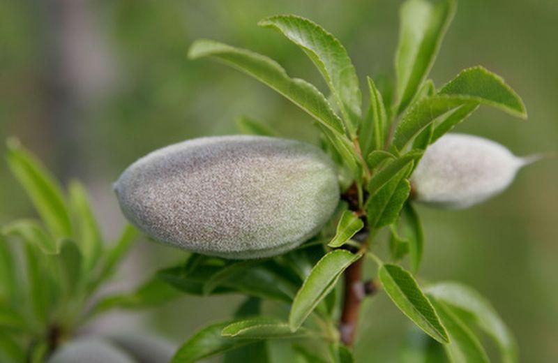 Olio di mandorle: l'alleato della pelle