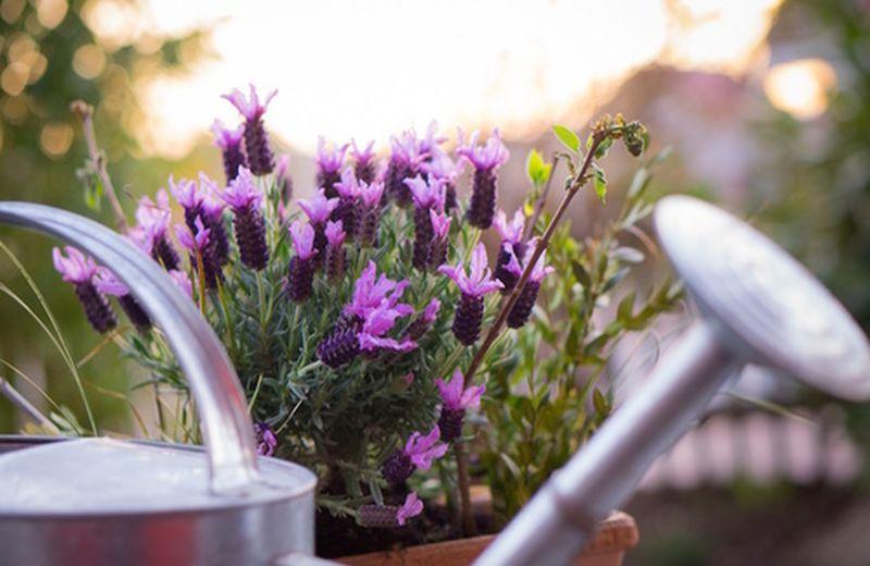 Pianta di lavanda, coltivazione in vaso