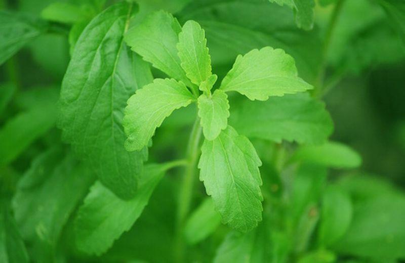 Stevia rebaudiana: proprietà e coltivazione della pianta