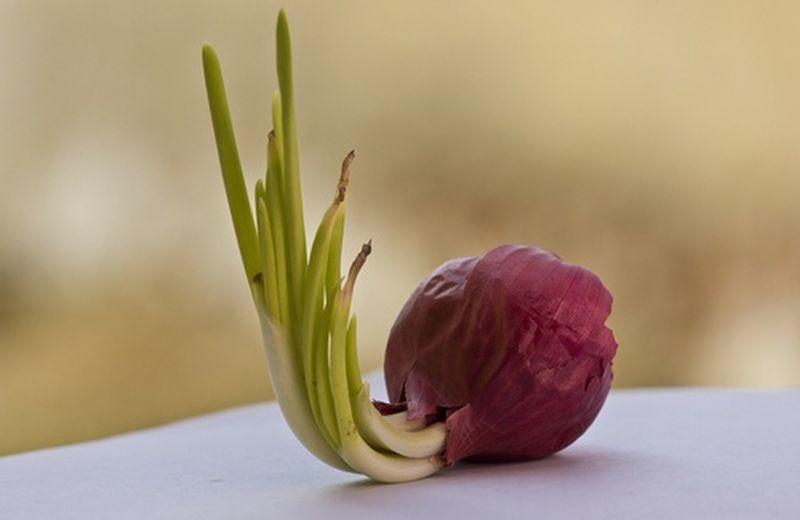 Come coltivare le cipolle