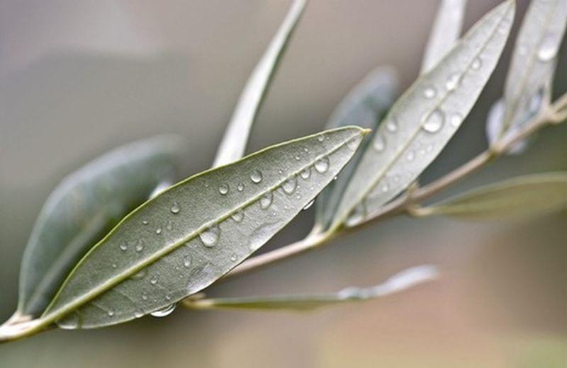 Proprietà delle foglie di olivo