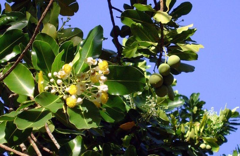L'olio di tamanu, benefici e uso
