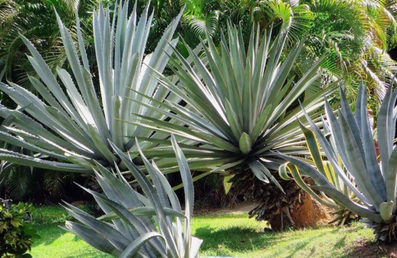 Agave: proprietà e coltivazione della pianta