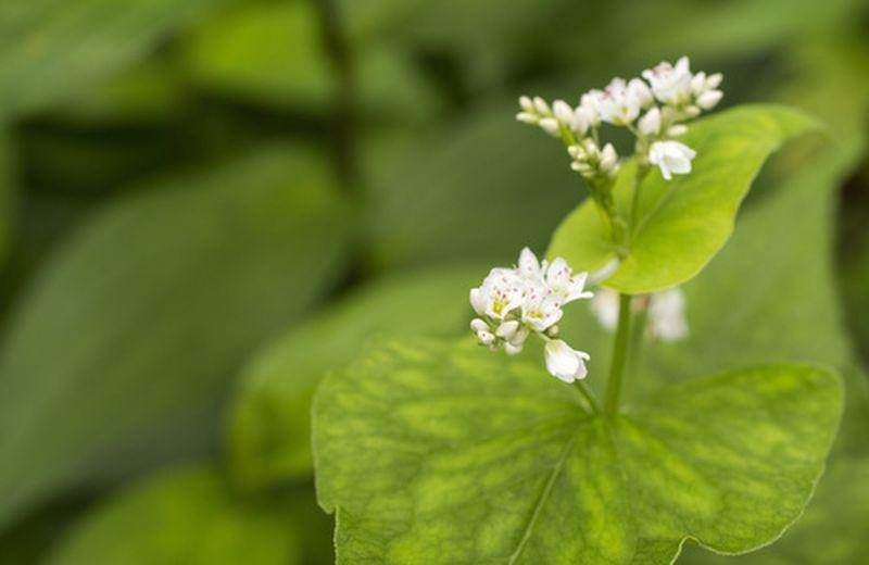 Foglie di grano saraceno: benefici, tossicità e uso