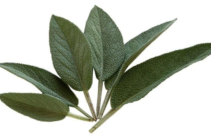 Salvia: coltivazione, potatura e usi della pianta
