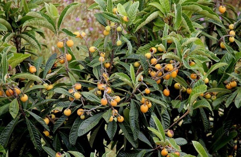 Frutta top di aprile, le nespole