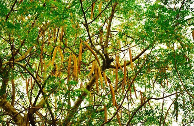 Moringa, proprietà e usi della pianta
