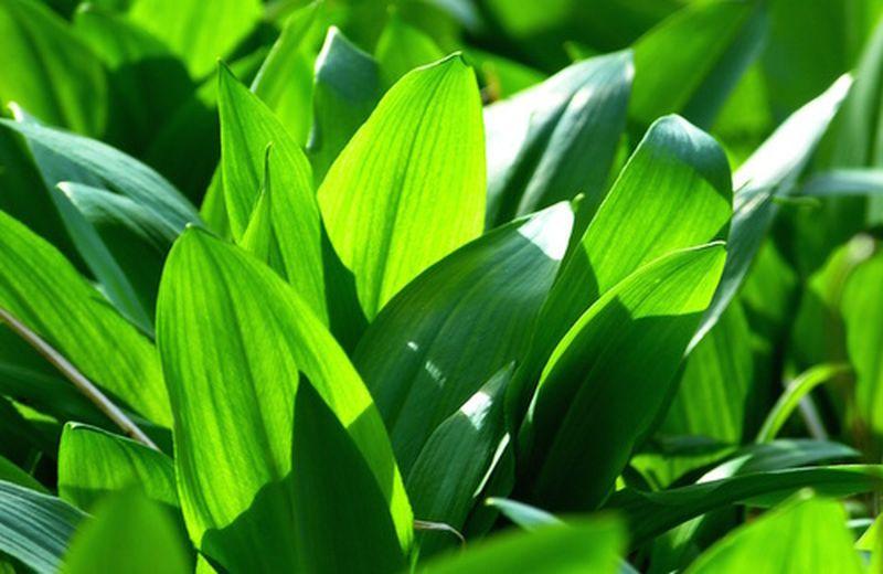 Coltivazione dell'aglio: dalla semina alla raccolta