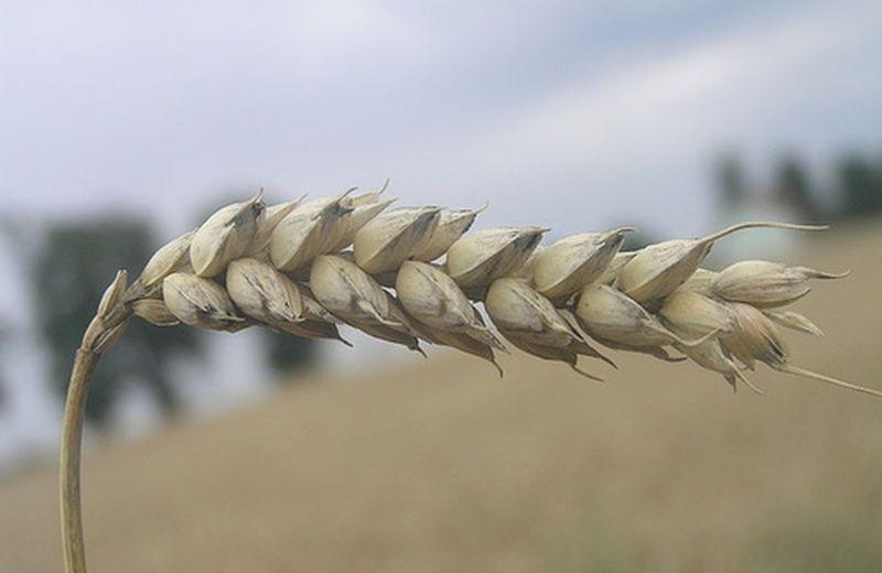 Olio di germe di grano: la vitamina E, allo stato naturale