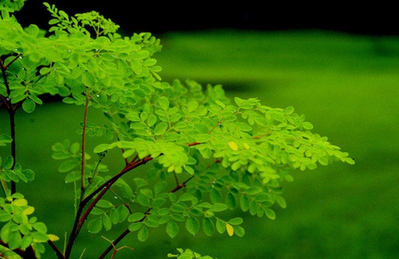 Moringa, l'unica pianta che moltiplica la vita