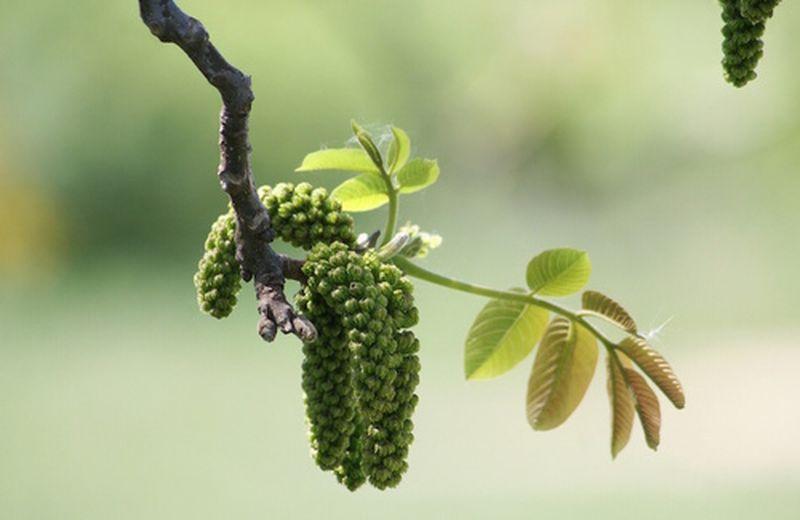 Walnut, il fiore di Bach del cambiamento