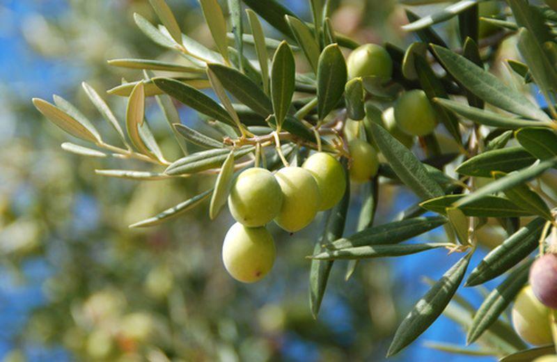Foglie d'olivo tra i rimedi per il colesterolo