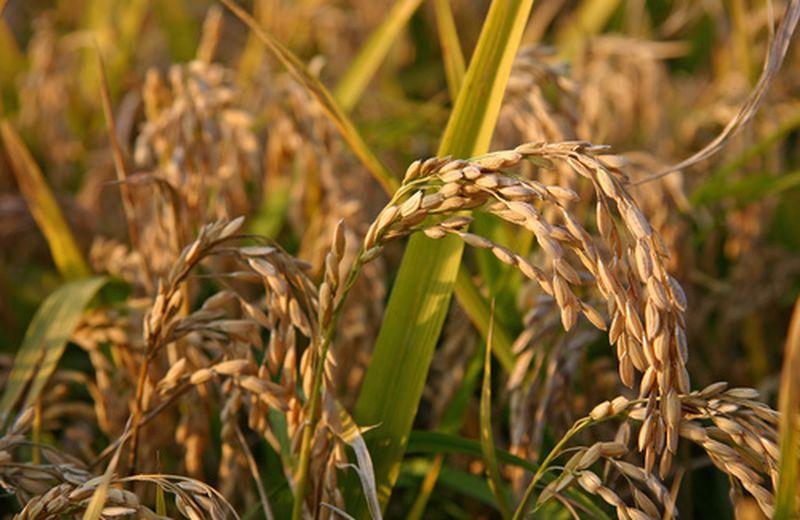 Olio di riso: l'abbronzante naturale
