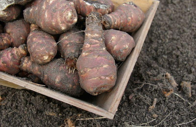 Topinambur: la coltivazione della pianta