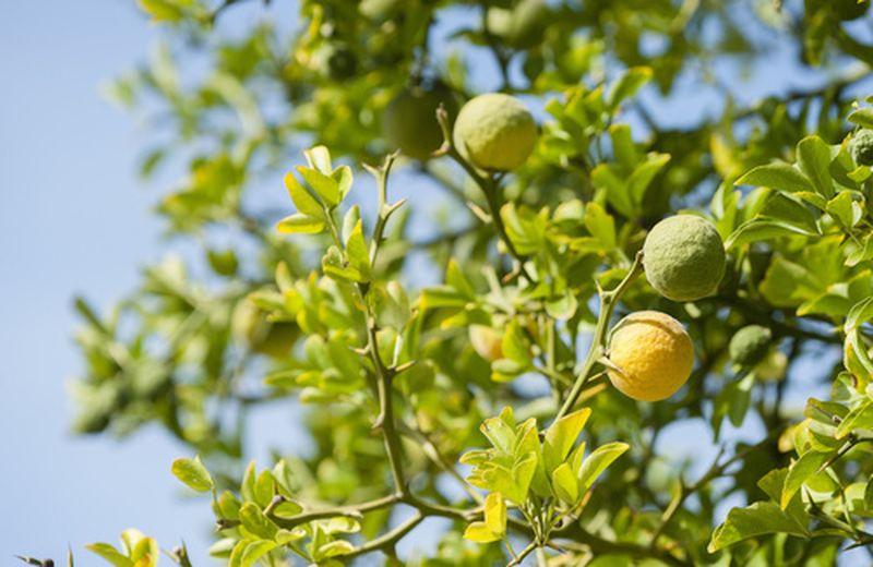 Il bergamotto per il colesterolo: benefici e uso