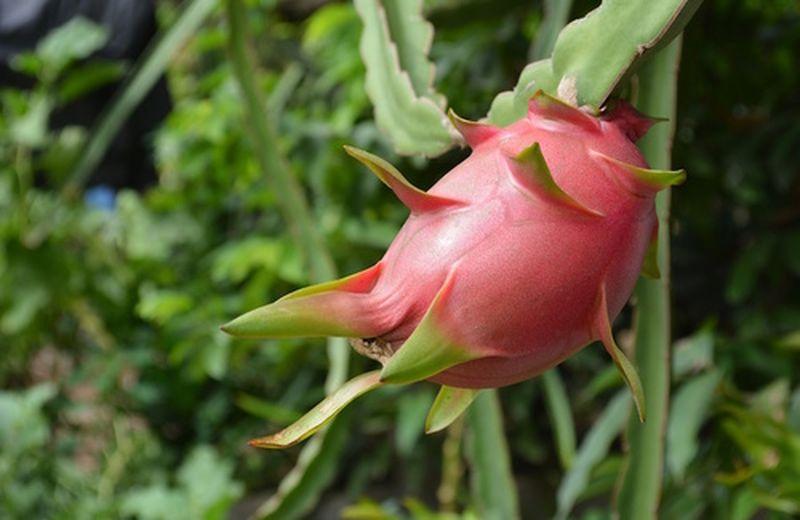 Calorie del Dragon Fruit, frutto tropicale dell'hylocereus undatus
